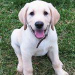 Chiens Guides Labrador